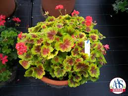 geranium brocade fire all america selections