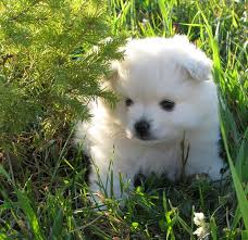 american eskimo dog black pomimo dog american eskimo pomeranian mix info and pictures