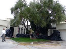 olive tree spraying arizona