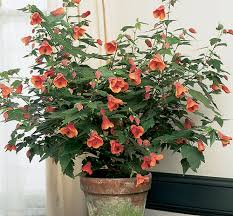 Indoor Flowering Plants by Abutilon Flowering Maple Plant For Garden Sheds And Raised
