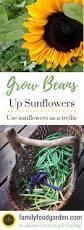 using sunflowers as a trellis