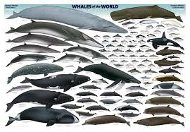 frontiers of zoology whale scale