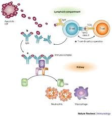 Sle Of Privacy Policy Statement by Figure 1 A Protective For Innate Immunity In Systemic Lupus