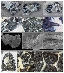 histological characterization of denticulate palatal plates in an