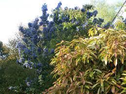arbuste feuillage pourpre persistant les arbustes fleurs et jardins de rhuys