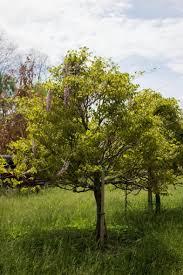 trees archive halka nurseries