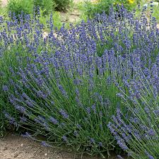 When Is Lavender In Season In Michigan by Garden Myth Citronella Geranium Vs 5 Easy To Grow Mosquito