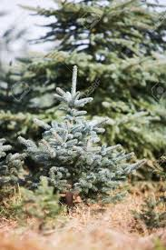 blue spruce tree sapling at a christmas tree farm germany stock