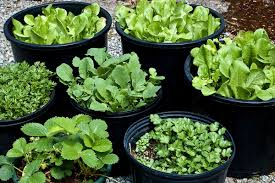 Vegetable Container Garden by Container Garden Perfect For Vegetables Herbs Bellevue Leader