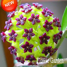 orchid plants for sale big sale hoya seeds potted flowers bonsai plants hoya seed orchid