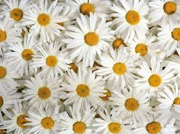daisy wallpapers images photos pictures backgrounds