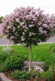 best 25 lilac ideas on lilac tree lilac