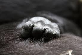 free stock photos of silverback gorilla pexels