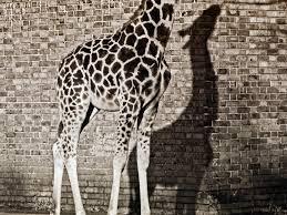 giraffe london zoo