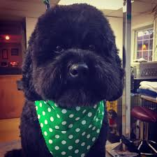 affenpinscher reviews hounds of love grooming salon home facebook