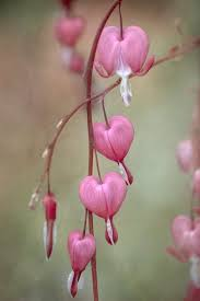 63 best bleeding hearts images on pinterest bleeding hearts