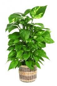 grünpflanzen im schlafzimmer 9 pflanzen im schlafzimmer die ihnen beim schlafen helfen