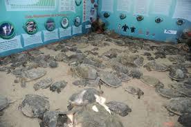imagenes tortugas verdes rescatan en tamaulipas a 120 tortugas verdes varadas por el frío info7