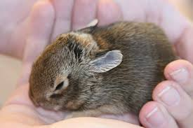 How Do I Get Rid Of Rabbits In My Backyard How To Care For A Wild Rabbit Nest 5 Steps With Pictures