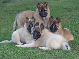belgian sheepdog breeds aftershock belgians belgian tervuren puppies for sale