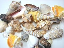 assorted seashells shells for decor 24 assorted lg seashells for crafts or