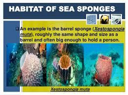 Azure Vase Sponge Facts Phylum Porifera