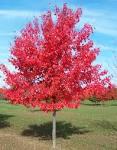 Image result for Acer rubrum 'October Glory'