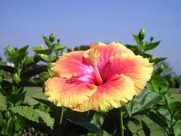 free photo india flower colorful garden free image on