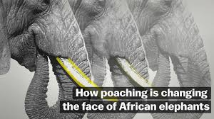 how poaching is changing the faces of african elephants vox