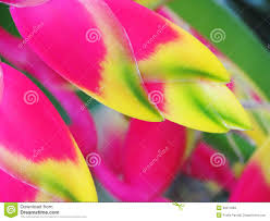 Exotic Colors by Heliconia Bird Of Paradise Flower Stock Photos Image 30371863