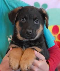 australian shepherd hound mix nevada spca animal rescue 3 adorable australian shepherd mix