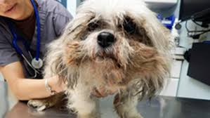 shih tzu with curly hair neglected shih tzu found with rotting gums nails so curly walking