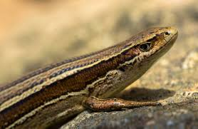 new zealand lizards native animal conservation