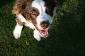 australian shepherd white free images white animal cute canine pet looking up border