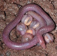 Madagascar Blind Snake New Blind Snake Species Discovered In Brazil Near Amazon River Bed