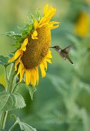 Hummingbird On A Flower - top 25 best hummingbirds ideas on pinterest hummingbird