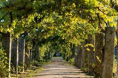 Grape Vine Pergola by Grapevine Pergola Stock Photography Image 20541712
