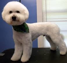 bichon frise puppy cut one fine canine pictures