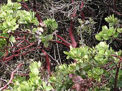manzanita trees manzanita