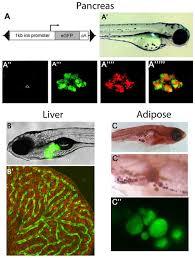 the emerging use of zebrafish to model metabolic disease disease