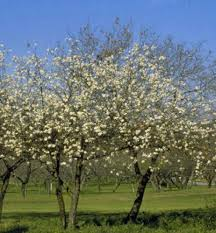 how to scarify seeds of mexican plum tree houston chronicle