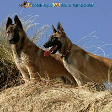 belgian shepherd exercise requirements protection dogs