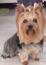 silky terrier with haircut cute yorkie with longer haircut живой уголок pinterest long
