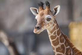 new at the zoo reticulated giraffe page 1