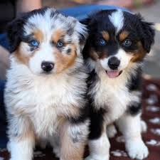 australian shepherd puppies 41 best australian shepherd images on pinterest australian