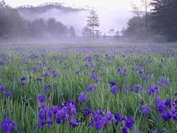 Flowers Near Me - flowers hiroshima field purple flowers near nature meadow mist