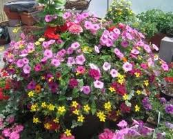 Patio Plants For Sun Flowers In Decorative Pots Perennials For Every Season