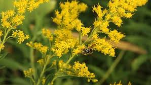 Flowers Bees Pollinate - bee collecting nectar from yellow ragwort flowers bees are
