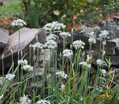 garlic chives ornamental tasty sometimes weedy the san diego