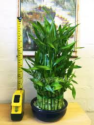 plant beautiful potted bamboo plants planting bamboo as a screen